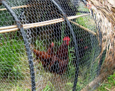 Chickens in chicken-wire enclosure