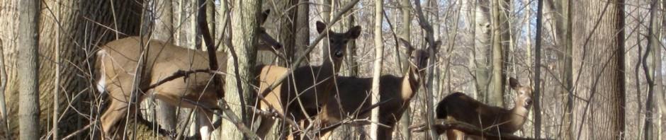 four-deer-at-forest-glen