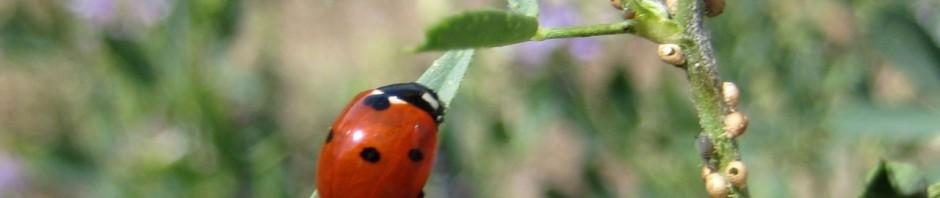 Roadside Ladybug