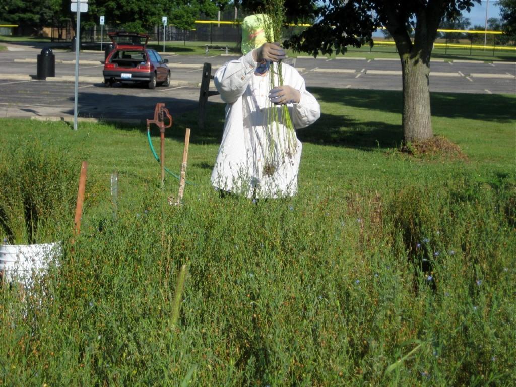 jackie harvesting flax