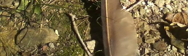 Turkey vulture feather