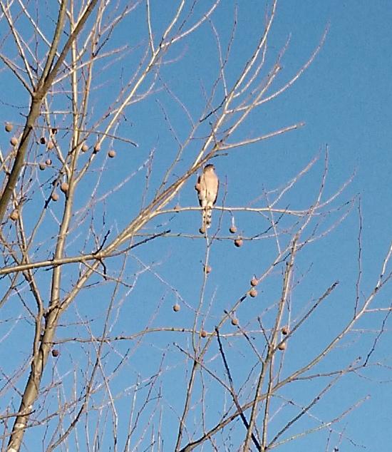 zoomed hawk