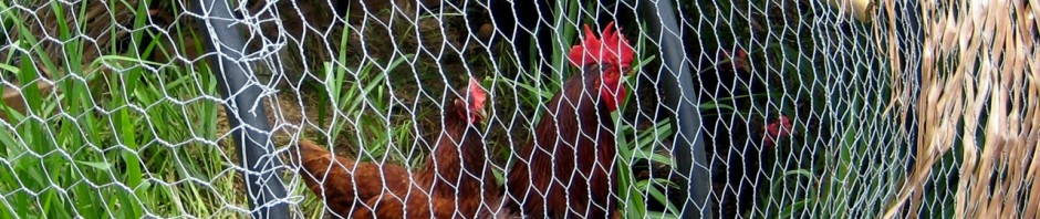 Public meeting on backyard chickens