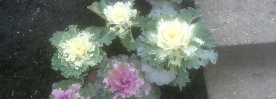 Decorative Brassicas
