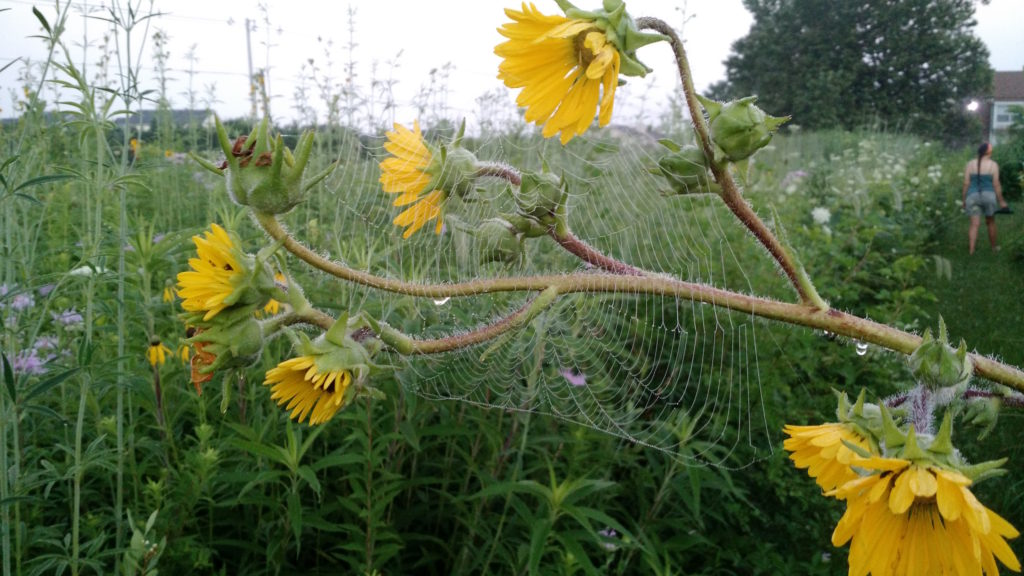 Prairie Spiderweb